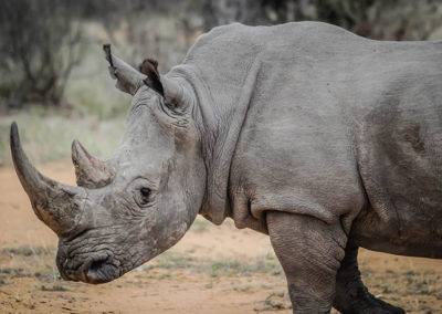 africa-animal-rhino-16040 - Copy