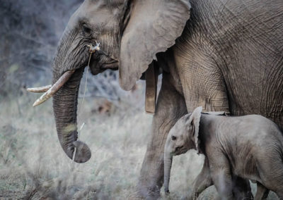 africa-elephant-calf-elephant-trunk-16066 - Copy