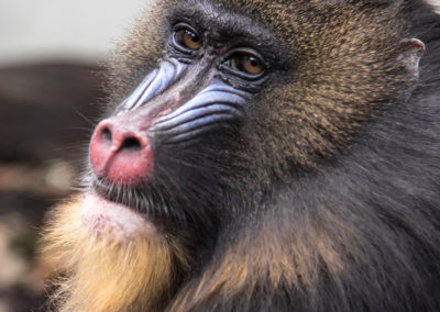 animal-animal-photography-baboon-633148 - Copy