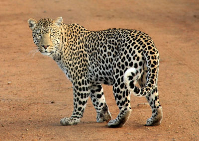 animal-leopard-predator-39857 - Copy